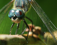 Bug-Eyed (CrzysChick) Tags: blue summer macro nature bug insect wings eyes close dragonflies dragonfly wildlife insects bugs bugeyed compoundeyes worldbest