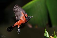 (#240) Orchard Oriole (tinyfishy (Gone to Europe)) Tags: usa bird flying inflight northcarolina orchard oriole naturesfinest orchardoriole peedeenationalwildliferefuge