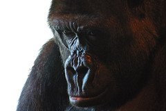 Gorilla (itchybana) Tags: