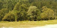 2008.08.18-25 1140 (szekely_tm) Tags: river olt bailetusnad tusnádfürdö