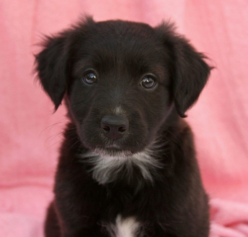 Yellow Lab Mix Jack Russell Terrier