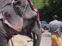 Elephant silhouette (Jennifer Kumar) Tags: india elephant silhouette kerala 2008 munnar elephantrides nettipattam decoratedelephant india2008 keralajune2008 elephantsilhouette