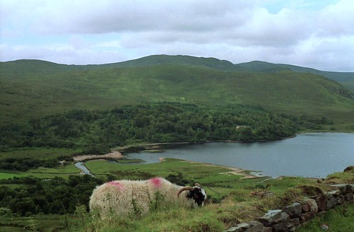 Sheep Grazing in Dunlewy, Co. Donegal