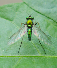Green Mosquito (Rashdi) Tags: macro fly mosquito citrit theperfectphotographer capturenx2