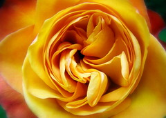 Dirty Little Secret (flipkeat) Tags: flowers roses flower macro rose yellow flora different little ultimate unique secret dirty karma naturesfinest burntumber supershot flowerotica bej languageofflowers mywinners anawesomeshot colorphotoaward ultimateshot empyreanflowers flowererotica macromarvels theperfectphotographer goldstaraward macroflowerlovers flowersarefabulous wonderfulworldofflowers rubyphotographer mimamorflowers dsch50 awesomeblossoms vosplusbellesphotos flickrflorescloseupmacros