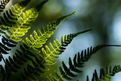 Nature's Solar Panels (Gigapic) Tags: fern nature solar bokeh hero winner leafs pfogold herowinner