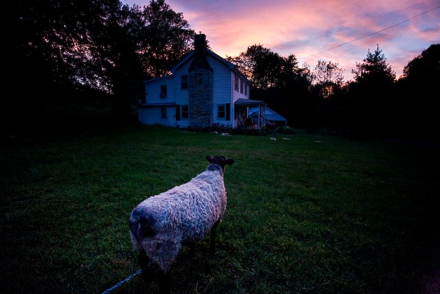 our sheep at sunset