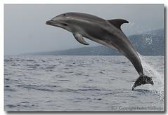 Tursiops truncatus (PedroMadruga) Tags: ocean wild mammal dolphin wildlife pico salto d200 azores açores breach golfinho cetaceo cetacean bottlenosedolphin tonina openocean roaz toninha specanimal pedromadruga southofpico toninhabrava suldopico