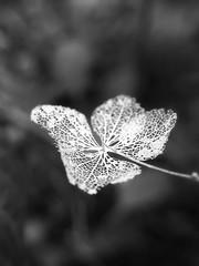 HBW! (Skelton hydrangea) (tanakawho) Tags: bw plant flower macro texture nature stem dof bokeh lace decay petal hydrangea delicate fragile skelton hbw tanakawho theunforgettablepictures brillianteyejewel