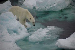 2965615298 14ea7fbe9e m Are Polar Bears Endangered?