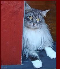 Maxwell (Jorbasa Mwa) Tags: pet macro smart animal cat germany deutschland hessen maine coon mainecoon maxwell katze kater wetterau jorbasa blackclassicsilvertabby
