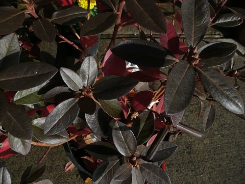 Rhododendron 'PJM Elite'