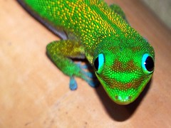 "Gold Dust Day Gecko (Phelsuma laticauda) (Paul ""Razor"" Ritchie) Tags: portrait macro green nature animals gold nikon wildlife lizard gecko dust madagascar d60 phelsuma laticauda daygecko paulritchie thelizardwizard"