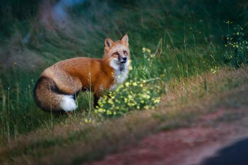 wild fox countenance