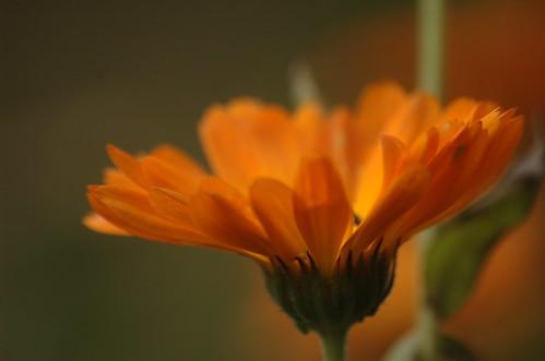 Calendula officinalis, Goudsbloem