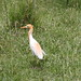 Eastern Cattle Egret - Photo (c) Arthur Chapman, some rights reserved (CC BY-NC-SA)