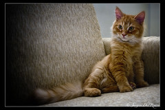 Siberian cat by Trudy? (SdR Art Photography) Tags: red orange cats cat canon eos kitten sdr sigma siberian rosso gatto arancio trudy cucciolo gattino siberiano llens 1770mm 40d abigfave kittenmagazine bestofcats kittyschoice boc1108 micicasa wwwluxintenebracom sergiodelrosso httpwwwluxintenebracom wwwluxintenbracom wwwsergiodelrossocom