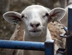 Katahdin ewe lamb
