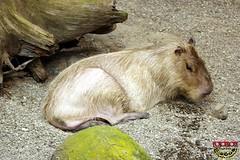 Capybara 2008 C20081108 009 (fotoproze) Tags: canada animals tiere quebec montreal animales animaux 2008 animais dieren  animali animale   dyr elimet animaliak djur  anifeiliaid  hayvanlar zvata dr llatok  hewan biodomedemontreal haiwan ivotinje zvierat   ivali ngvt  zwierzt   ainmhithe