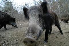 In the forest (Csaba_Bajko) Tags: nose nikond70 wildlife mm wildboar vaddiszn bajkcsaba f28quot gemenc szembeszk quot1116
