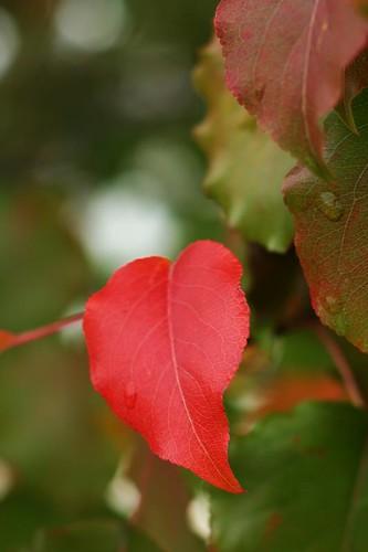 heart leaf 2