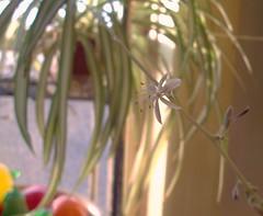 spider plant flower (Ron,Ron,Ron) Tags: 2008 spiderplantflower nov08