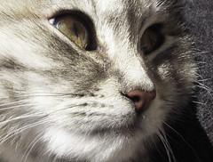(ajatierra) Tags: macro animals delete10 cat delete9 delete5 delete2 eyes kitten delete6 delete7 save3 delete8 delete3 delete delete4 save save2 notmycat digitalcameraclub