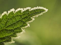 [フリー画像] [植物] [葉っぱ] [氷] [緑色/グリーン]       [フリー素材]