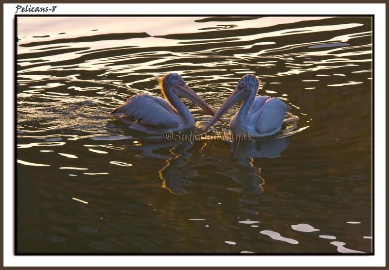 Pelicans-8