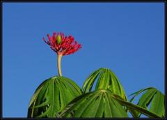 Coral tree (Nobrainer22TX) Tags: coral coraltree jatropha coralplant jatrophamultifida guatemalarhubarb coralbush physicnute