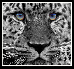 The Eyes Have It... (Helen Beresford) Tags: eyes whiskers leopard soe selectivecolour bej mywinners abigfave theunforgettablepictures betterthangood natureselegantshots damniwishidtakenthat 100commentgroup