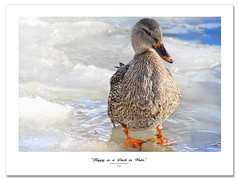 Cold feet...about a foot bath? (Imapix) Tags: winter cold ice nature animal photo duck photographie froid canard footbath glace brrrr coldfeet malard gaetanbourque baindepied imapixphotography gatanbourquephotography