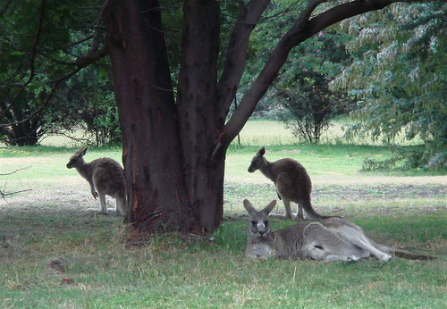Kangaroos, sheltering from the rain