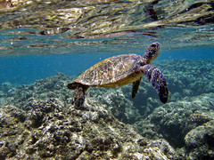 Green Sea Turtle (pixelmama) Tags: june hawaii diving snorkeling kauai scubadiving honu 2008 gettyimages greenseaturtle tunnelsbeach