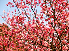 Taiwan Cherry (olvwu | ) Tags: flower cherry spring taiwan cherryblossom sakura taipei          cherryblossomfestival cherryblossomviewing 1260 taipeicounty  jungpangwu oliverwu oliverjpwu sanchih sanjhih olvwu   jungpang  sanjhihtownship formosancherrytree sanchihcherryblossomseason sanchihtownship