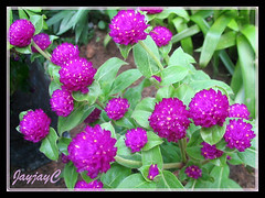 Flowerheads of Gomphrena globosa (Bachelor's Buttons, Globe Amaranth) in magenta-purple at our garden bed, August 2008