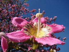 Barriguda / Paineira-rosa flower / Cotton-silk-tree (Ceiba speciosa) . Brazilian tree