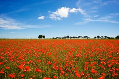 Ile de Re, 'The Green Fields of France'  Poppies (chrisps) Tags: travel blue red summer vacation sky france green nature clouds landscape nikon poppy poppies fields nikkor f28 d3x 1424mm