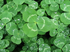 Shamrock (patrickpasty) Tags: pictures park morning ireland wallpaper plant color macro green nature water grass rain saint st garden four freedom march three leaf spring weed graphics focus heart graphic good many background seasonal picture patrick charm images eire fortune sharp luck stockphotos occasion shamrock clove stockimage stockphotographs stockphotograph royaltyfreephoto