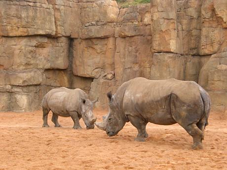 rhinos-valencia