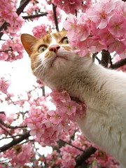 Sakura cat (curious) (tanakawho) Tags: flower tree eye animal cat mouth cherry nose temple spring branch blossom tabby whiskers ear curious creature peeking bicolor tanakawho sakuracat goldstaraward camfmar08
