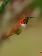 Male Rufous Hummingbird (bison_bill_c) Tags: bird nature birds hummingbird birdwatcher smrgsbord aficionados myyard pentaxk10d brisbanebirds flickrgolfclub thantsbostin