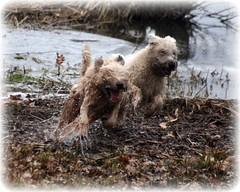 Wheaties Kramer and Buck enjoying the spring (Taru80) Tags: irish dog water canon play run terrier buck kramer wheaten softcoated supershot xti 400d