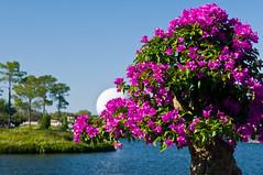 Epcot-21 (acodus) Tags: world orlando epcot florida disney bougainvillea disneyworld bonsai japanpavilion