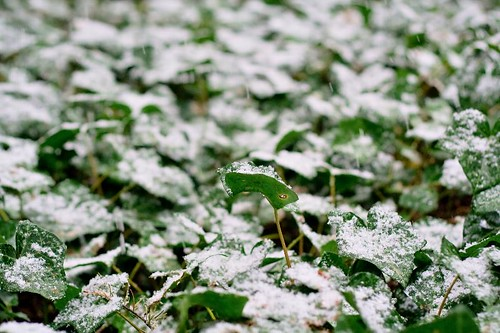 Icy Ivy - snow covered ivy in Stayton Oregon