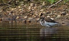 Sandpiper (JoJones) Tags: nature water birds coventry sandpiper brandonmarsh