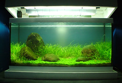 Iwagumi Tank (denoneno) Tags: plants fish plant grass aquarium rocks tank shrimp aquascape planted
