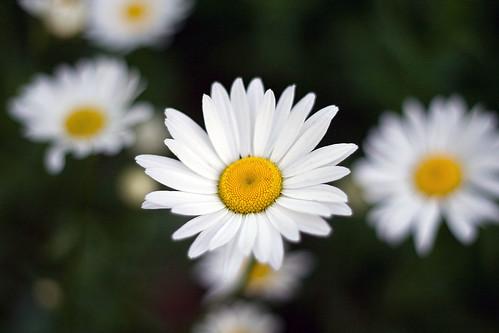 146/365 Daisy Day