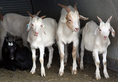 Goats from 2008 test
