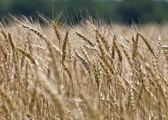 Oklahoma Wheat (hz536n/George Thomas) Tags: summer oklahoma flora wheat perkins 2008 cs3 canon30d kartpostal canonef70200mmf4lusm p1f1